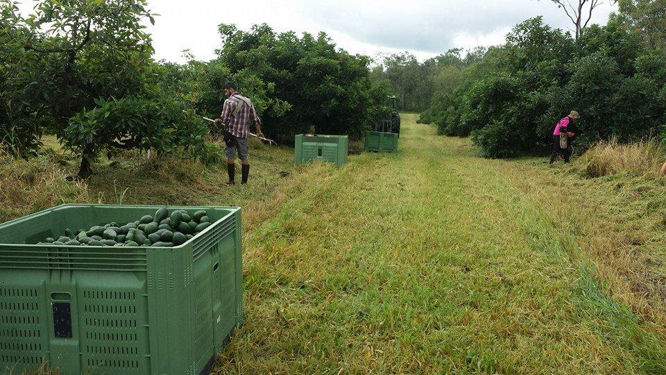 Farmarbeit auf einer Avokadofarm
