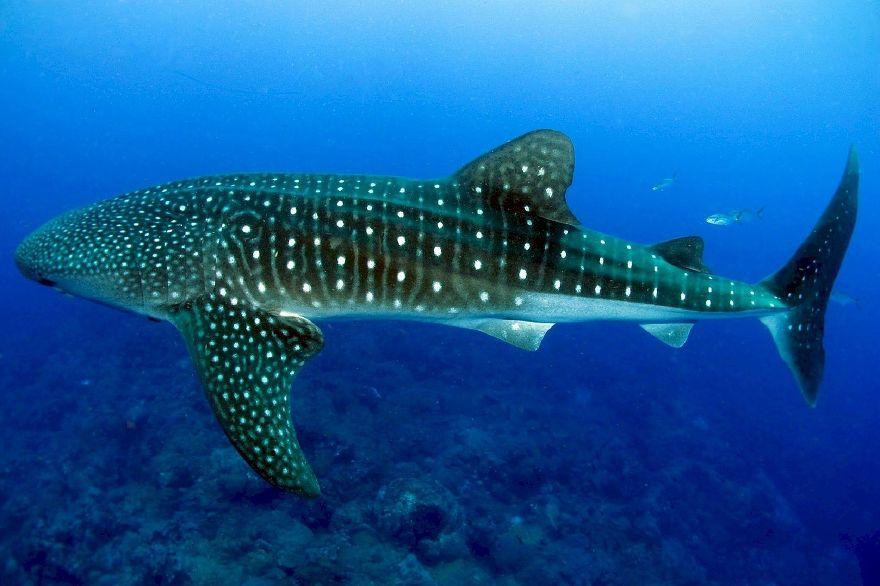 Walhai im Ningaloo Reef